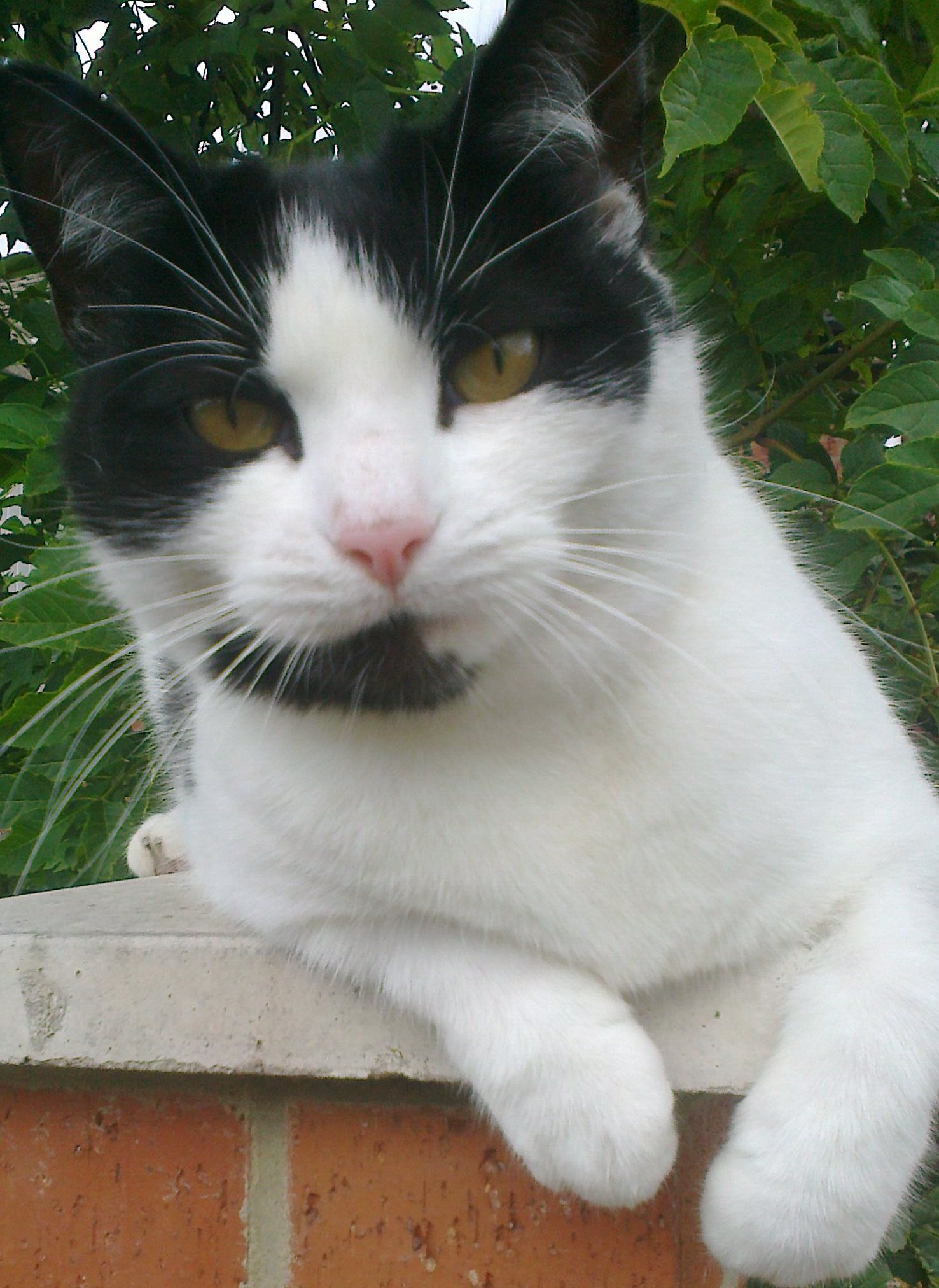 Dom is a male black-and-white short-haired moggy. In this picture he is sat on a garden wall under a tree, looking directly at the camera. He's leaning a little to the left.