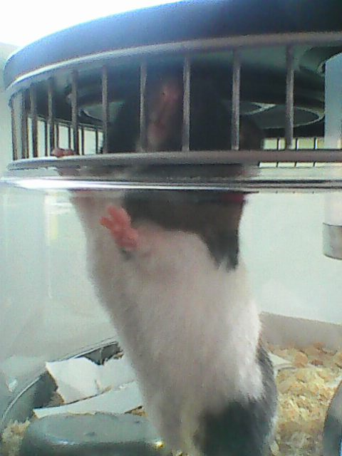 Image description: Tribble, a short-haired black-and-white hamster, stood on her hind legs leaning against the wall of her cage. She's poking her nose out between the bars, which she liked to do when we weren't paying enough attention to her cuteness.