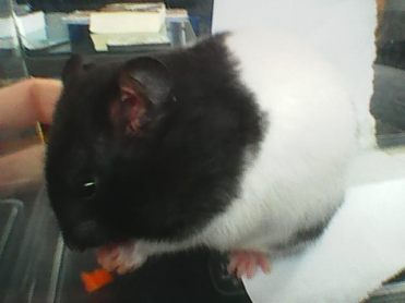 Image description: Tribble, a black and white short-haired Syrian hamster, eating some carrot.