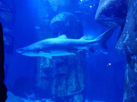 A large tiger shark.
