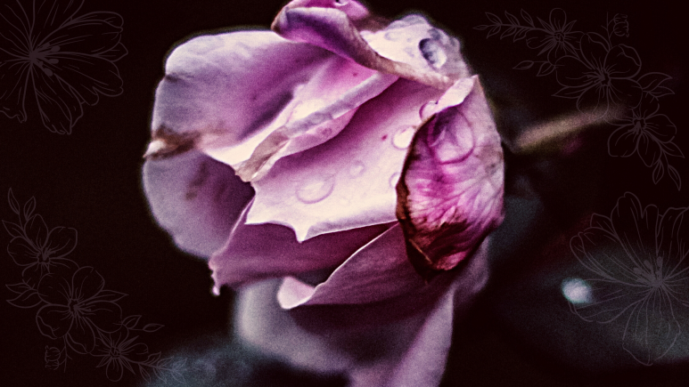 A lilac rose covered in dew drops.